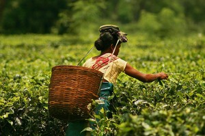 Tea being picked in Assam [Image from Wikipedia]