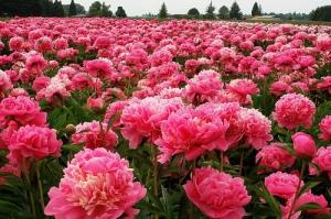 pink.peonies
